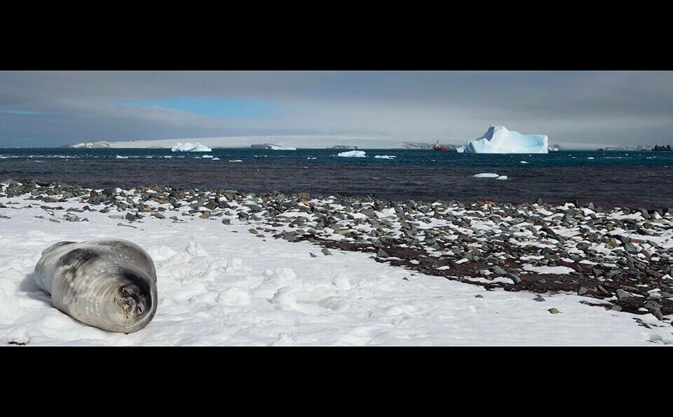 Foca descansando sobre la nieve al lado del mar en la antártida