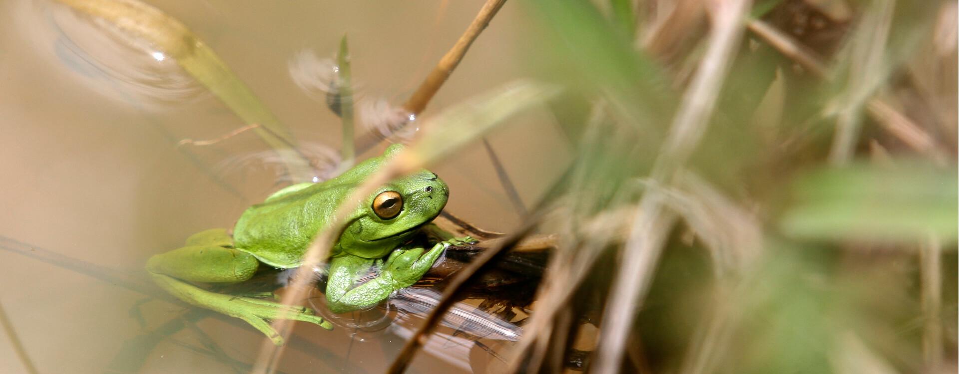 Investigación de Los Andes sobre un hongo que está extinguiendo a las ranas de Colombia. En la foto, una rana en su hábitat.