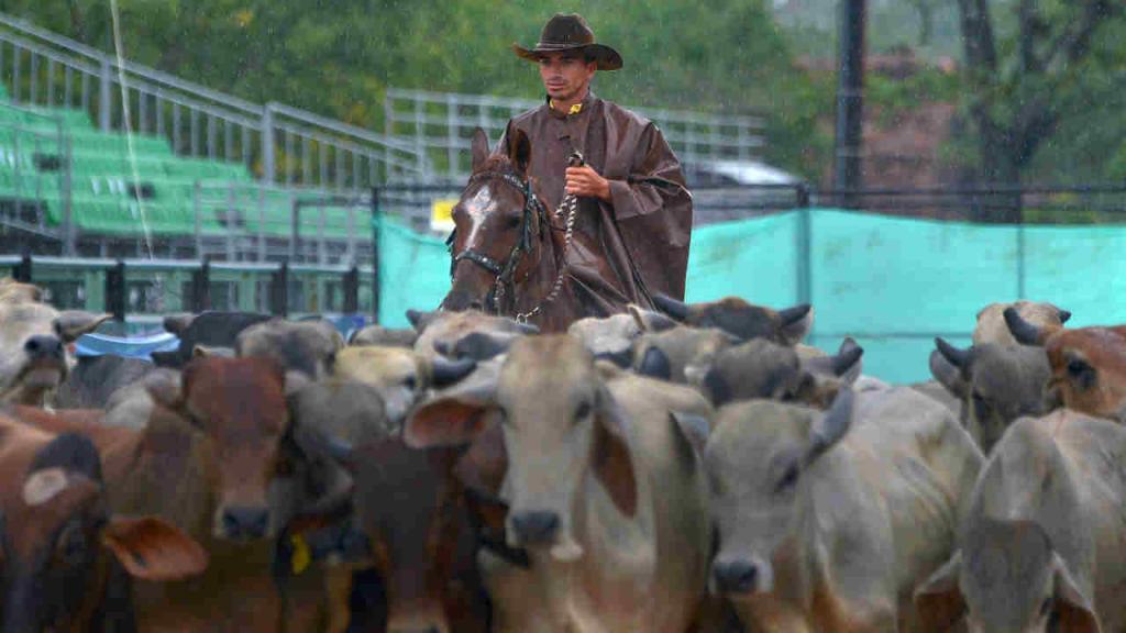 Un hombre a caballo arrea un grupo de vacas.
