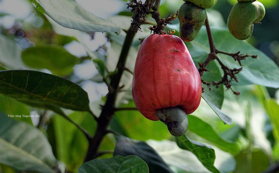 foto de un marañon, fruta exótica que se da en el Vichada