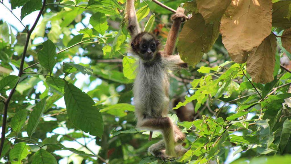 Imagen de uno de los micos que estudia el docente Andrés Link.