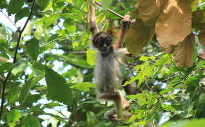 Image of one of the monkeys studied by professor Andrés Link