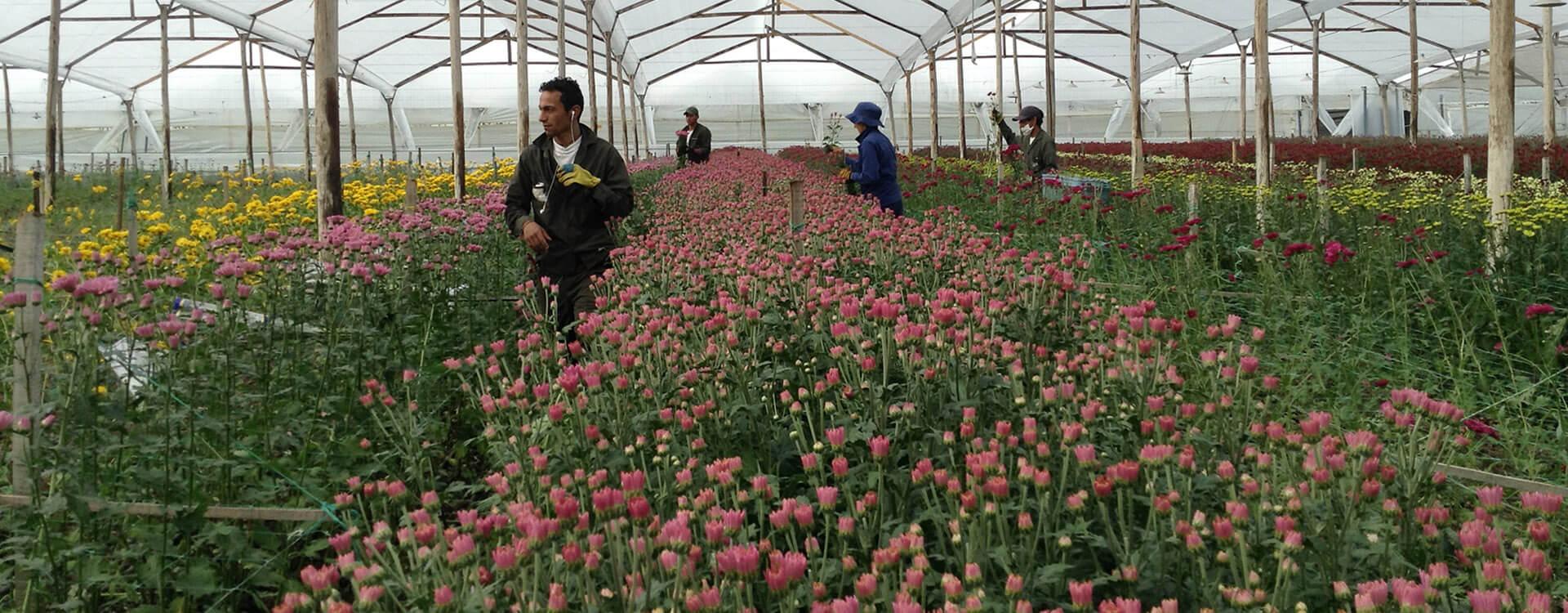 Invernadero y cultivadores de flores, entre cultivos, en la sabana de Bogotá