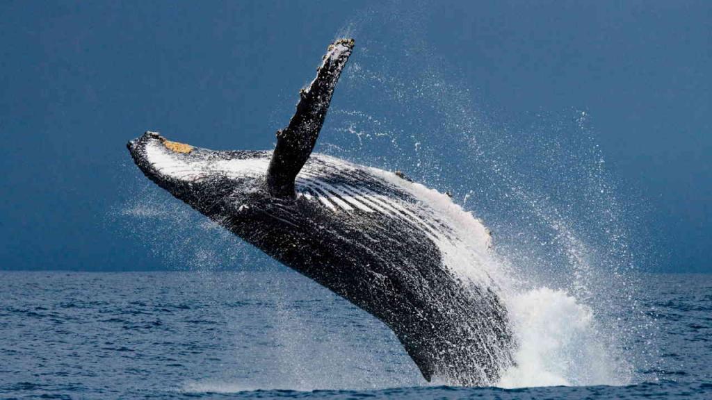 Una ballena jorobada salta de agua.