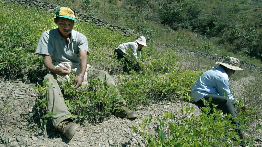Imagen de campesinos recogiendo coca