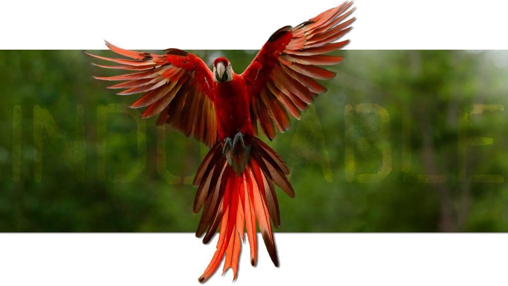 Loro rojo volando con sus alas extendidas.