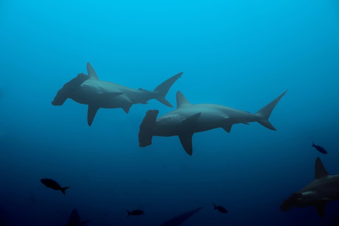 Foto de dos tiburones martillo