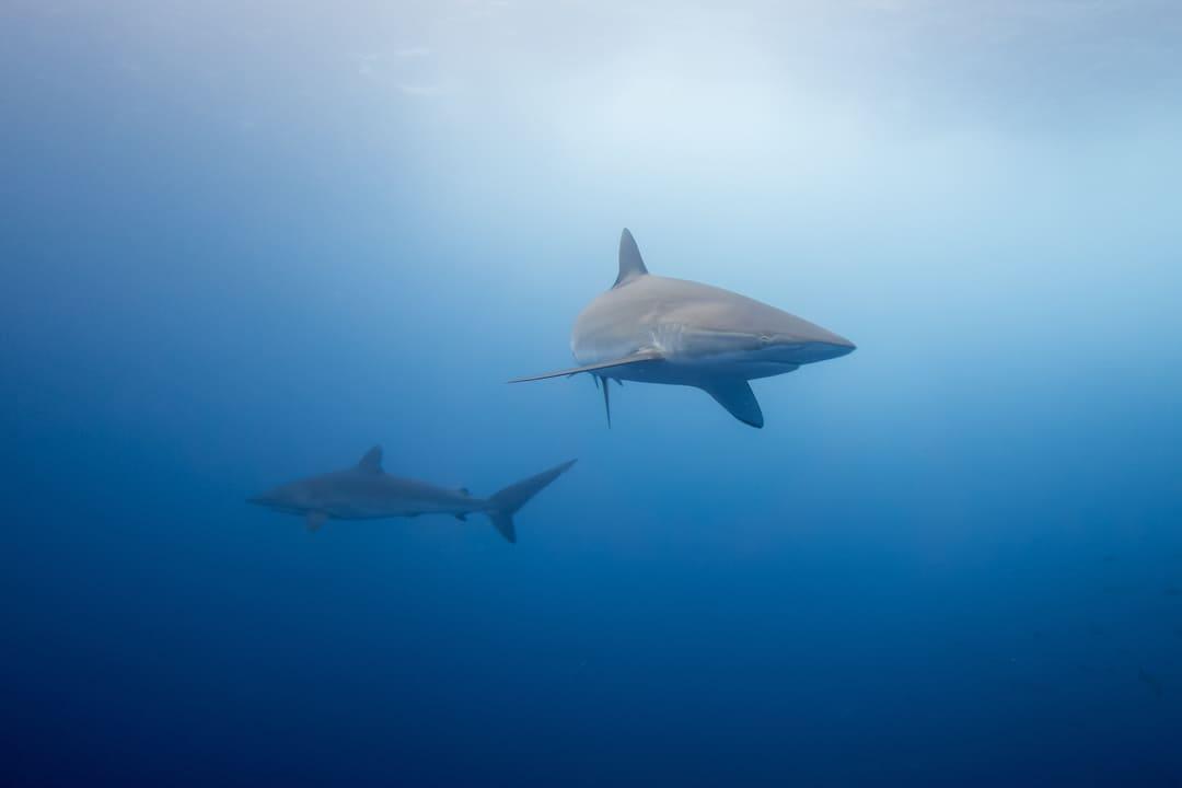 Foto de un tiburón sedoso