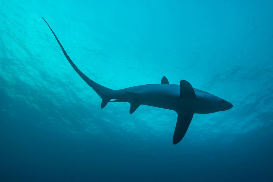 Foto de un tiburón zorro