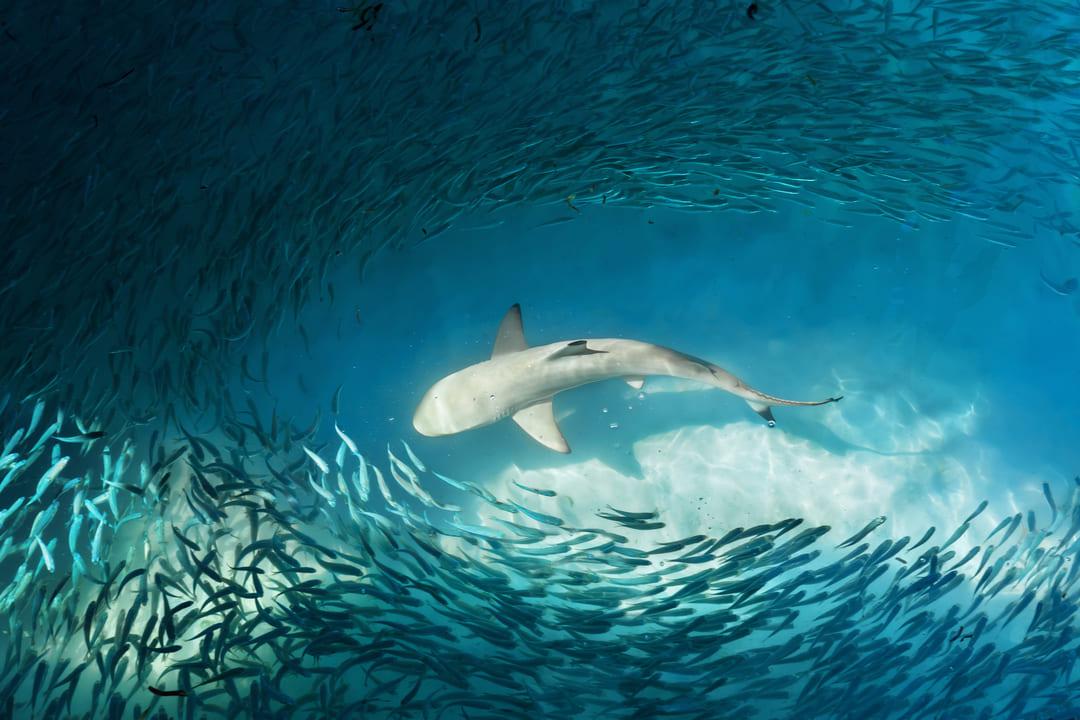 Foto de un tiburón rodeado de peces