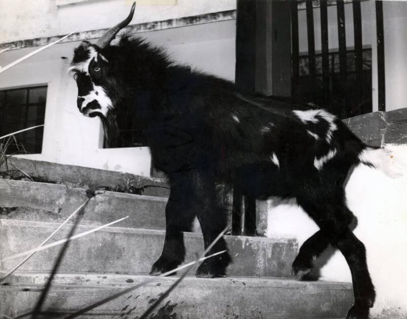 una cabra negra con blanco en las escaleras en uno de los campos de la universidad de los andes