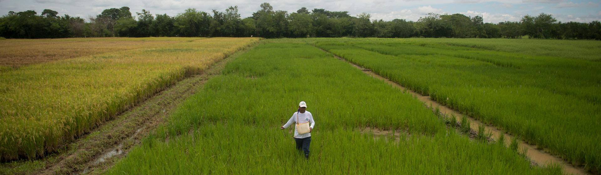 Persona camina en la mitad de un cultivo de arroz.