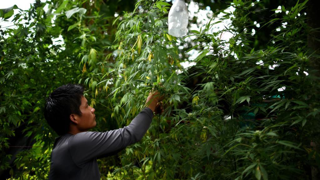 Joven campesino revisa mata de cannabis en el campo.