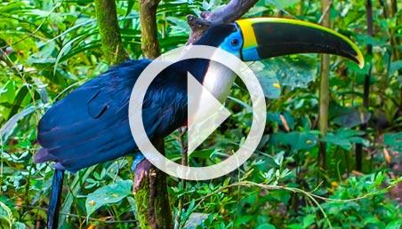 Un tucán se posa sobre una rama en el Amazonas.