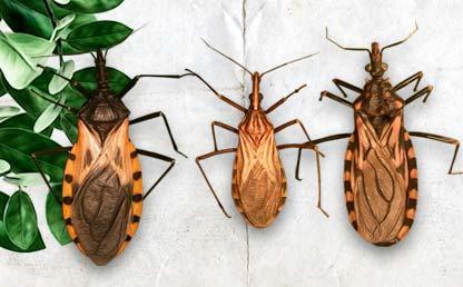 Ilustraciones de tres insectos que producen la enfermedad de Chagas