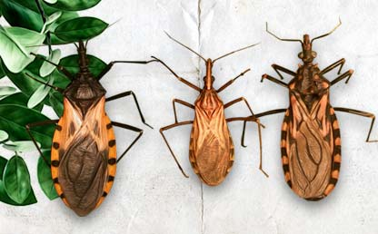 Illustrations of three insects that produce the Chagas disease