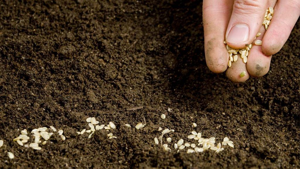 Foto de la siembra de semillas transgénicas.