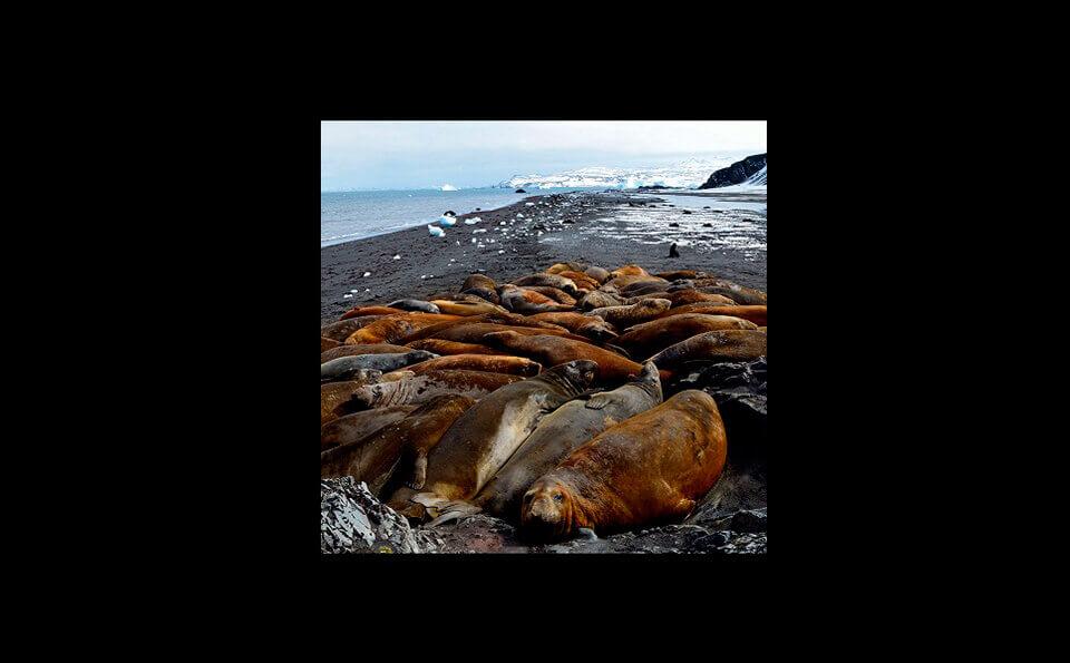 varios elefantes marinos descansando sobre tierra