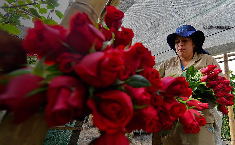 flores colombianas conquistan mercados mundiales