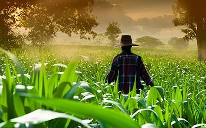 Campesino camina por sus cultivos.