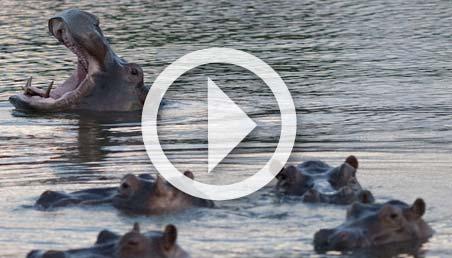 Foto de hipopótamos en el Magdalena colombiano.