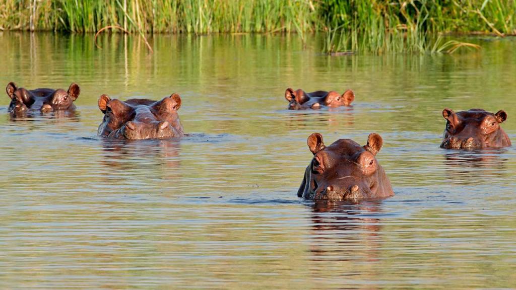 Foto de hipopótamos