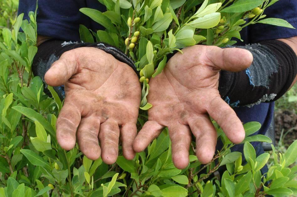 Foto de unas manos sucias que trabajan la tierra, vemos las manos en medio de cultivos de coca
