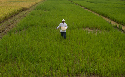 Imagen de un cultivo de arroz en Colombia.