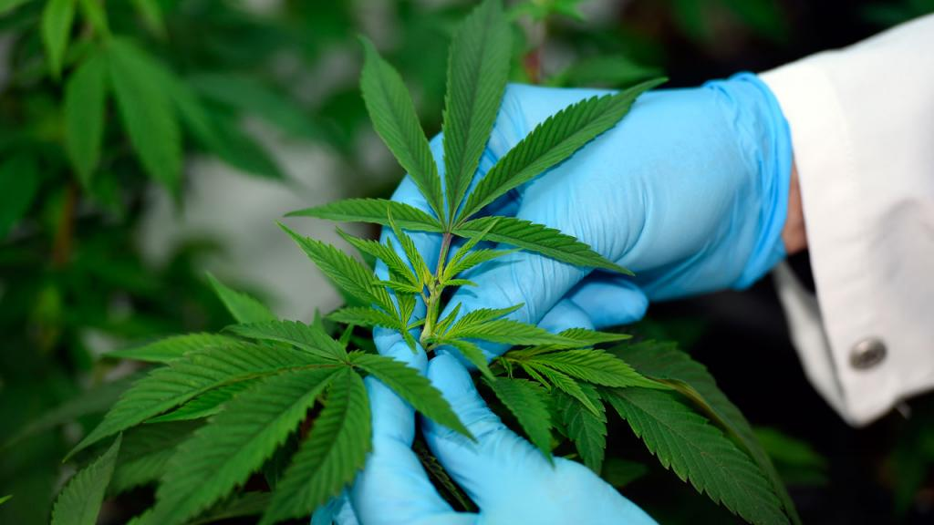 Foto Marihuana medicinal