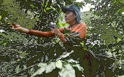 Mujer recogiendo café