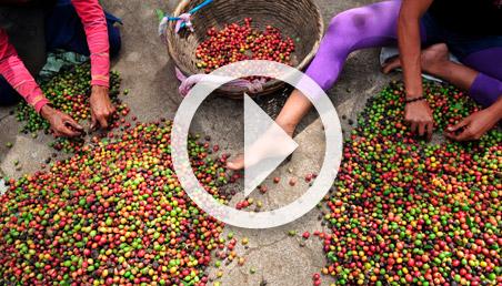Mujeres despulpando café.