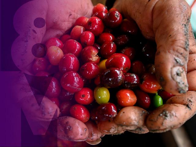 Foto de una mujer campesina con granos de café en las manos.