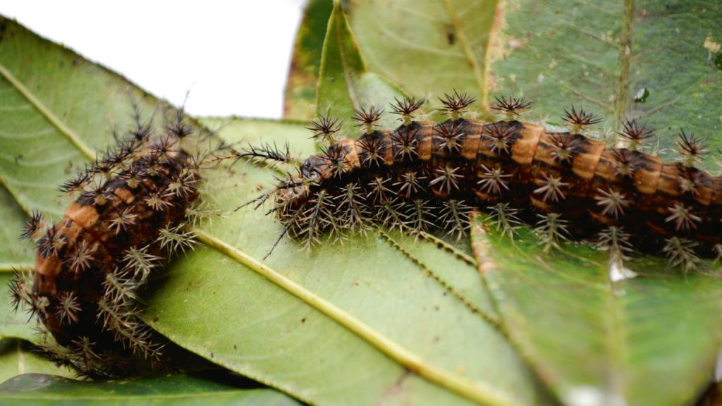 Imagen de dos orugas que están ubicadas sobre la hoja de una planta.