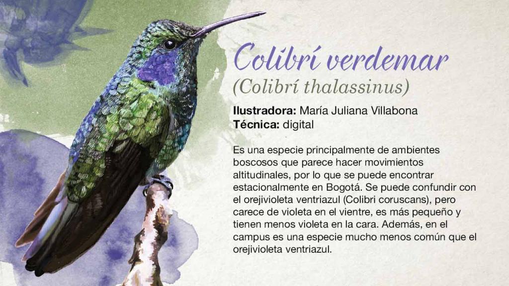 Ilustración de un colivrí verde y azul