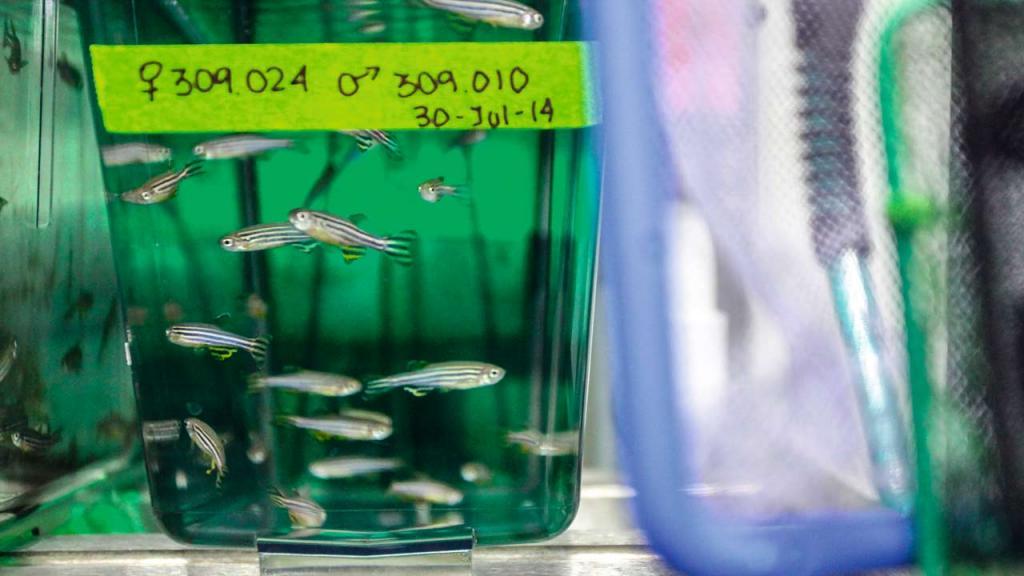 Black striped fish in a tank of green liquid