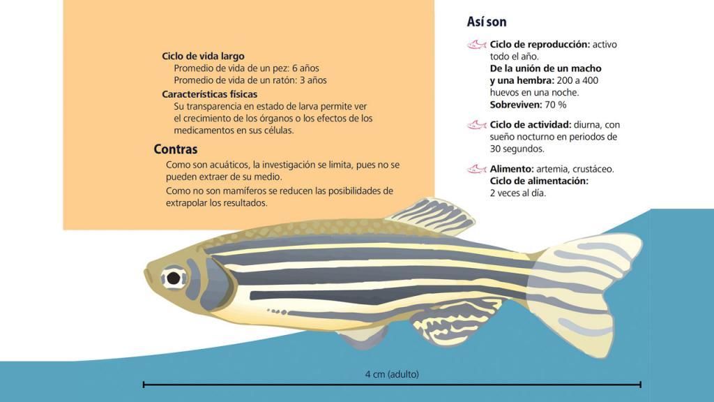Gráfico de un pez de rayas negras y textos.