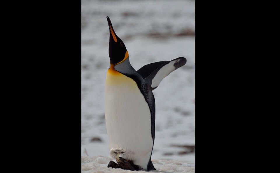 Un pingüino rey en la nieve