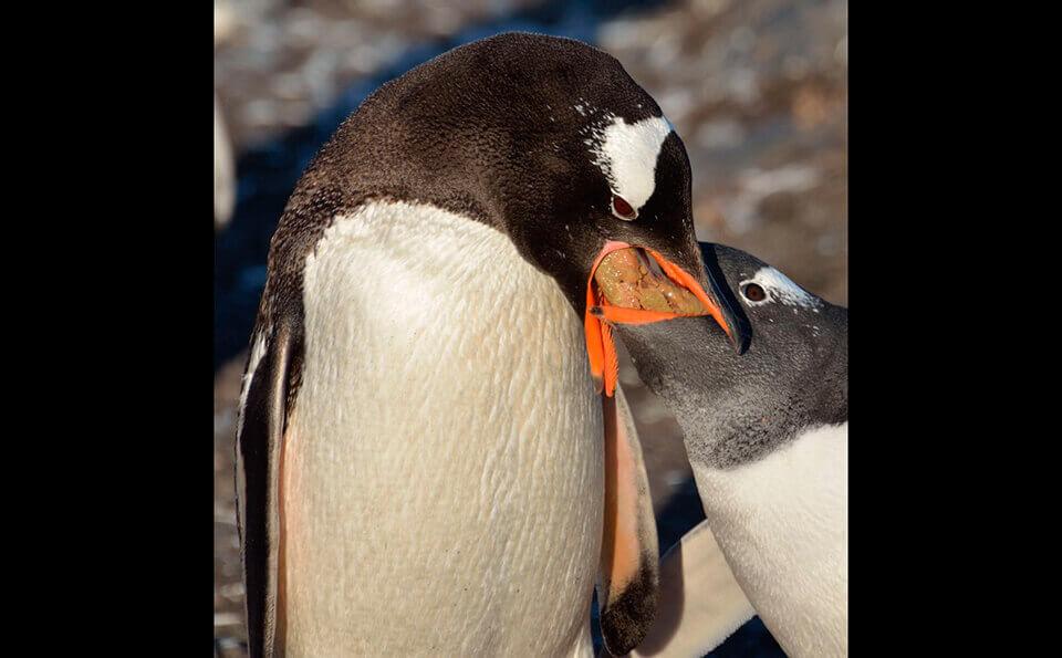 dos pingüinos, un padre alimenta a su pichón