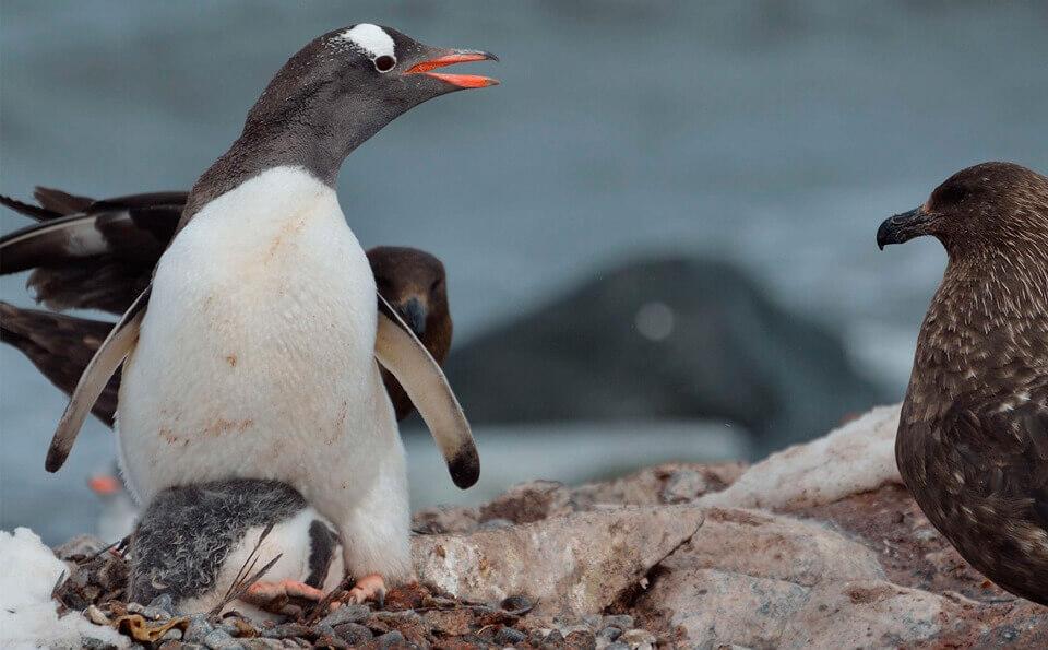 pingüino defendiendo a su pichón de un ave llamada Escuas Pardo