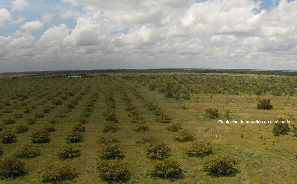 foto de plantacion maranon vicha orinoquia