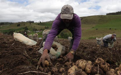 Imagen de un campesino cosechando papa