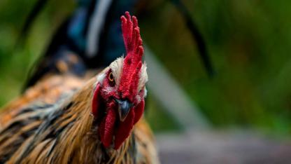 Researchers hope to broaden the application of phages to larger populations of chickens.