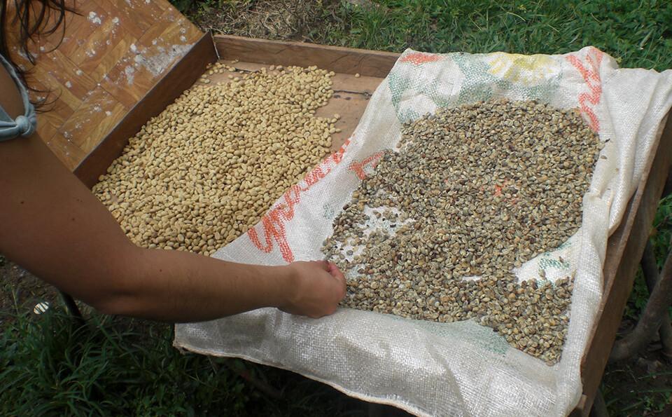 manos seleccionando semillas