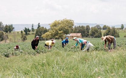 Mujeres en un cultivo de cebolla en la sabana bogotana.