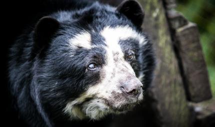 En los próximos 30 años, el Oso Andino perdería cerca del 30 por ciento de su hábitat.