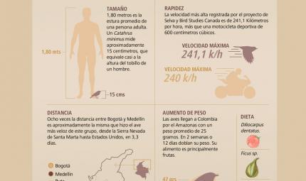 Infografía de datos curiosos de la velocidad, la alimentación, tamaño y distancias recorridas de las Catharus minimus.