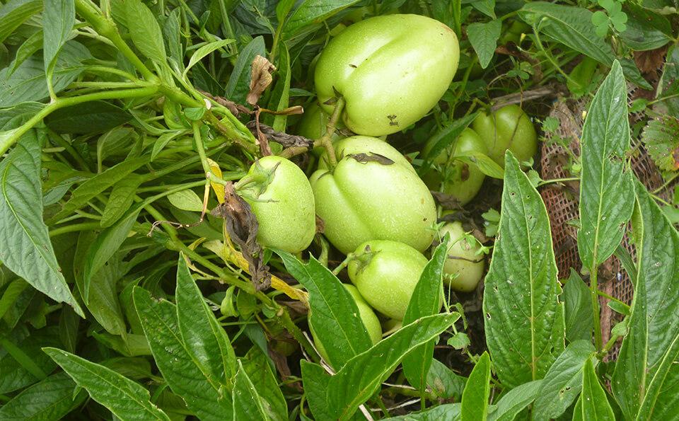 tomates verdes creciendo en huerta casera