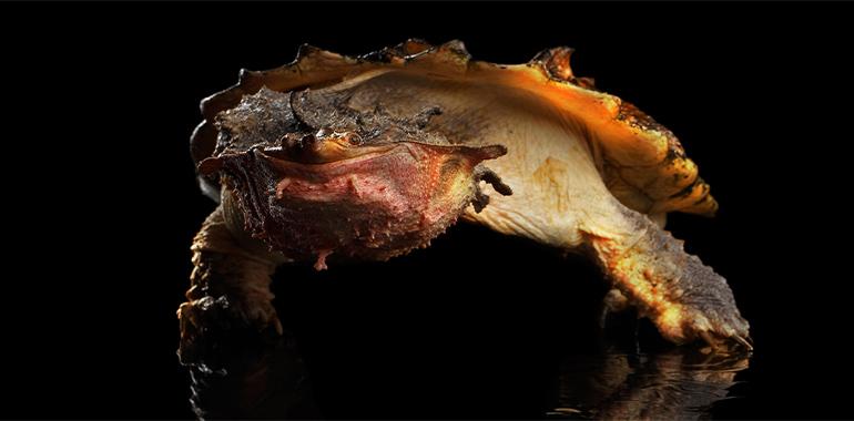 Foto de una tortuga matamata.
