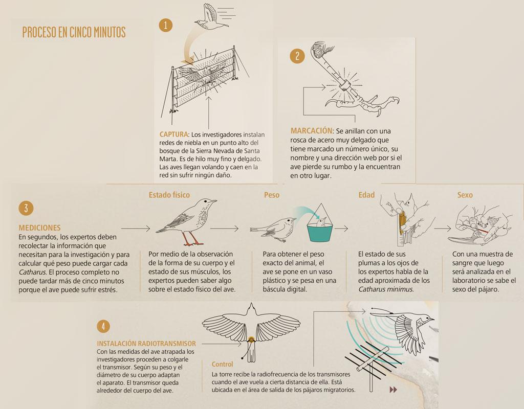 Infografía del proceso para anillar y poner radiotransmisores a aves migratorias que llegan a Colombia.